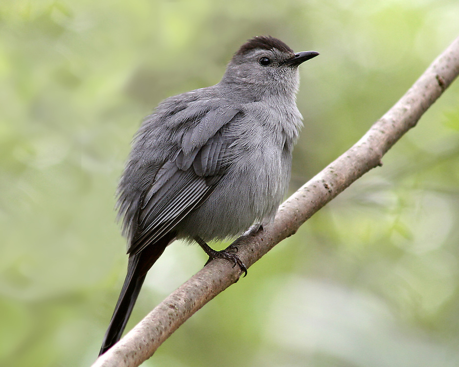 A catbird in the Natural Fauna Garden.