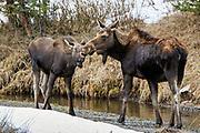 Cow and calf moose standing in riparian habitat.