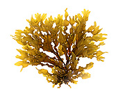 Fucus vesiculosus (Bladderwrack) gathered in Hulls Cove, Maine