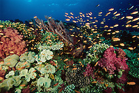 Fiji reef view with coral diversity and Anthias school.  Primarily Lyretail Anthias (Pseudanthias squamipinnis)     Vatu-i-ra, Fiji.  Oct 03.
