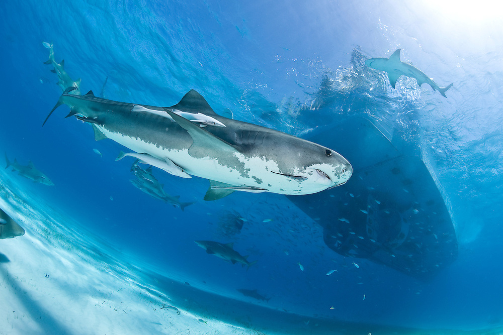 Tiger shark in the Bahamas/Tiger Beach by Lesley Rochat