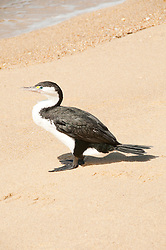 New Zealand, South Island: Cormorant on beach near Tonga Quarry along the Abel Tasman National Park coast. Photo copyright Lee Foster. Photo # newzealand125155