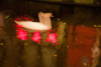 Amsterdam, Holland. Abstract of a swan swimming in a canal in the red light district of  Amsterdam with neon light reflections on the water.