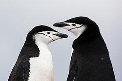 Chinstrap Penguin (Pygoscelis antarctica) in Antarctica