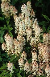 Tiarella 'Mint Chocolate' - Foam flower