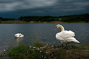 Swans beneath a threatening sky at Banner Marsh south of Peoria, Ill.