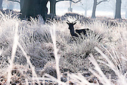 © Licensed to London News Pictures. 20/01/2016. Richmond, UK. Deer in the frosty bracken. Deer in the freezing frost at Richmond Park today 20th January 2016. Temperatures dropped to -4 celsius overnight. Photo credit : Stephen Simpson/LNP