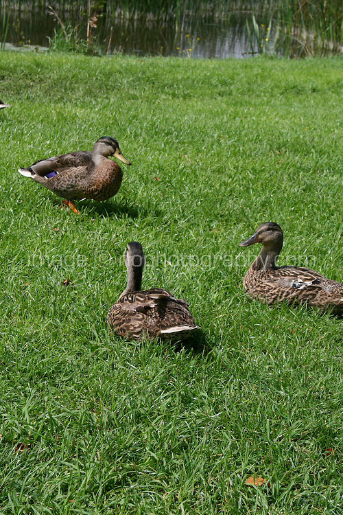 Three ducks in grass near a lake in Ireland