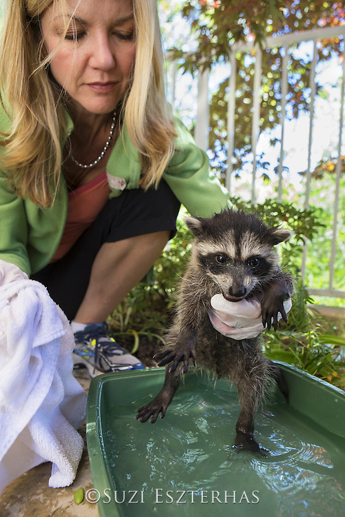 Raccoon <br /> Procyon lotor<br /> Volunteer, Michelle Ganote, bathing seven-week-old orphaned baby in backyard of foster home <br /> WildCare, San Rafael, CA<br /> *Model release available