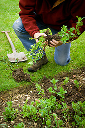 Dividing a perennial herb (mint) by digging up, splitting into sections and replanting