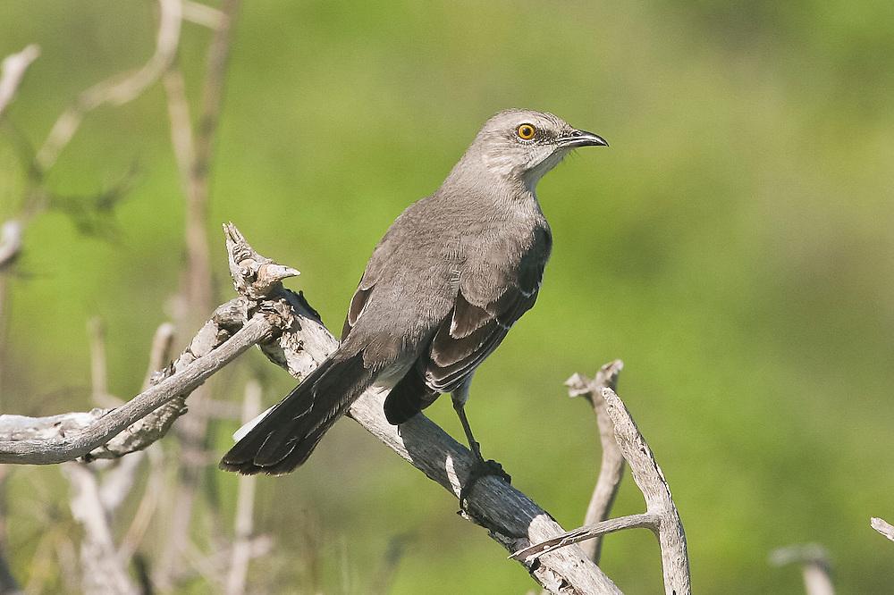 Northern Mockingbird photo Hawaii