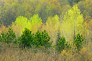 Scots pine and deciduous trees in spring foliage<br /> Rosseau<br /> Ontario<br /> Canada