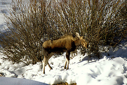 WY: Grand Teton National Park, young moose in winter              .Photo Copyright: Lee Foster, lee@fostertravel.com, www.fostertravel.com, (510) 549-2202.Image: wygran224