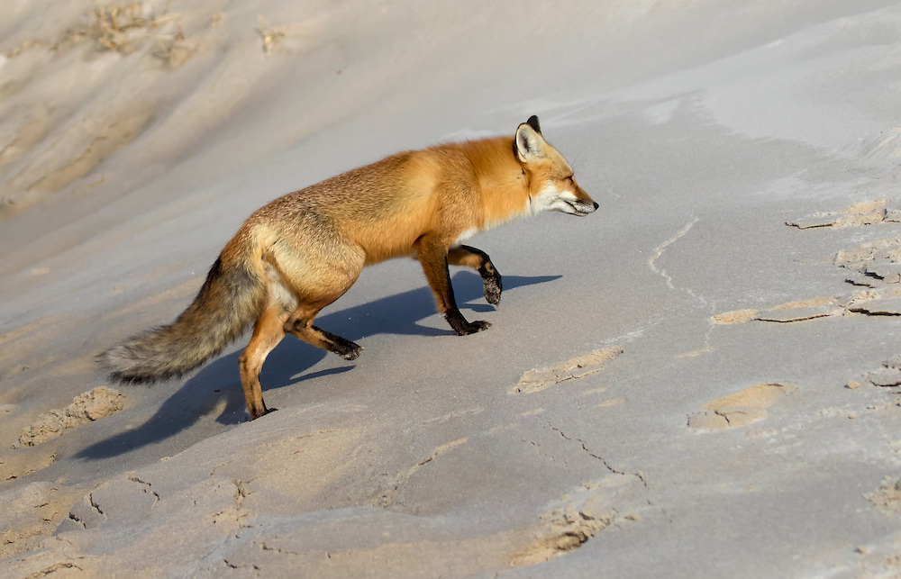 Red fox, (Vulpes vulpes), on a sand dune, Island Beach tate Park, Ocean County, New Jersey