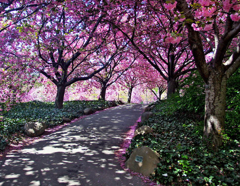 The path leading to the cherry tree grove, a much photographed location.