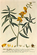 Coloured Copperplate engraving of a Crotalaria (rattlepods) plant from hortus nitidissimus by Christoph Jakob Trew (Nuremberg 1750-1792)