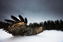 Great Grey Owl (Strix nebulosa) in Finland