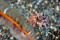 Longhorn Cowfish and Sea Pen<br /> <br /> Shot in Indonesia