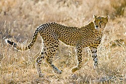 Cheetah hunting. It is the fastest of all land animals. Samburu National Reserve, is located on the banks of the Ewaso Ng'iro river in Kenya; Africa. There is a wide variety of animal and bird life seen at Samburu National Reserve / Guepardo cacando em Samburu, localizado no Rift Valley, no Quenia. Eh um dos grandes parques nacionais do Quenia, na Africa importante refugio de vida selvagem