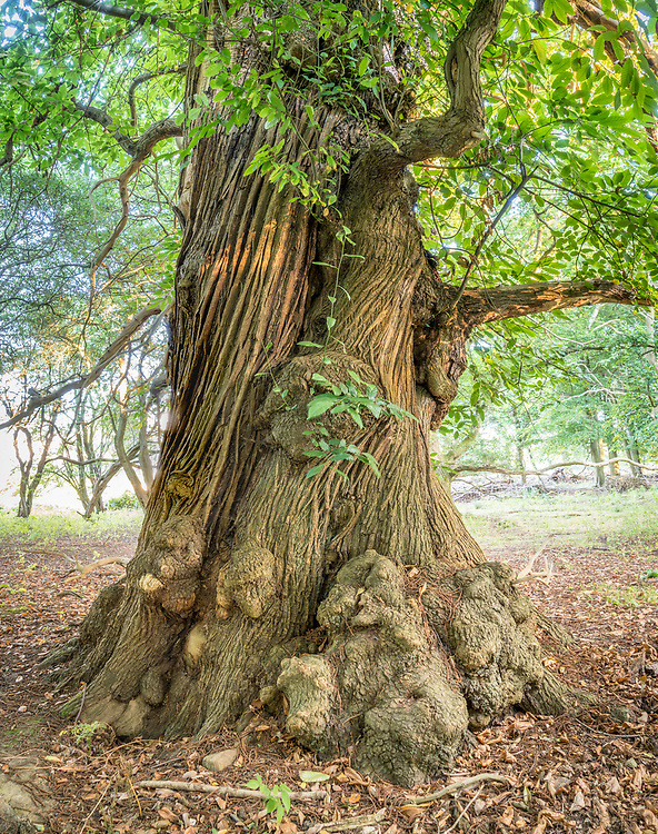 One of a group of ancient Sweet Chestnut trees nearby to the Ashridge College House in the Ashridge Estate.