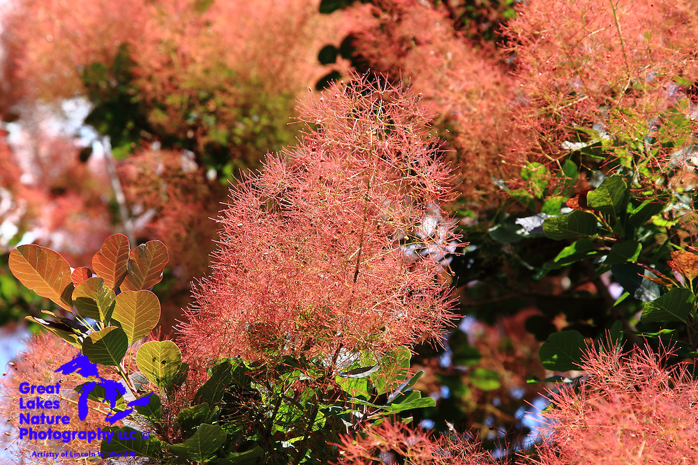The intricate, tiny flowers of the smoke tree give the appearance of puffs of smoke from a distance. Up close, these are fascinatingly detailed structures.