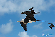 immature great frigatebird, 'iwa, or iwa bird, Fregata minor, flying, East Island, French Frigate Shoals, Papahanaumokuakea Marine National Monument, Northwest Hawaiian Islands, Hawaii ( Central Pacific Ocean )