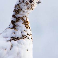 A willow ptarmigan begins to molt his winter plumage.