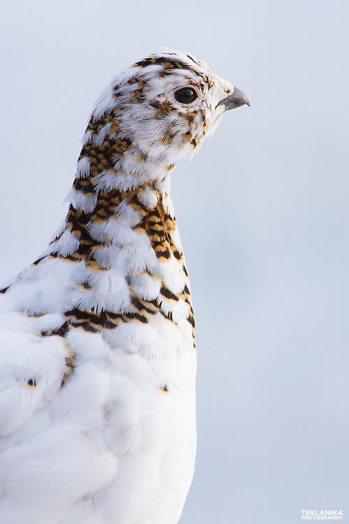A willow ptarmigan begins to molt his winter plumage.