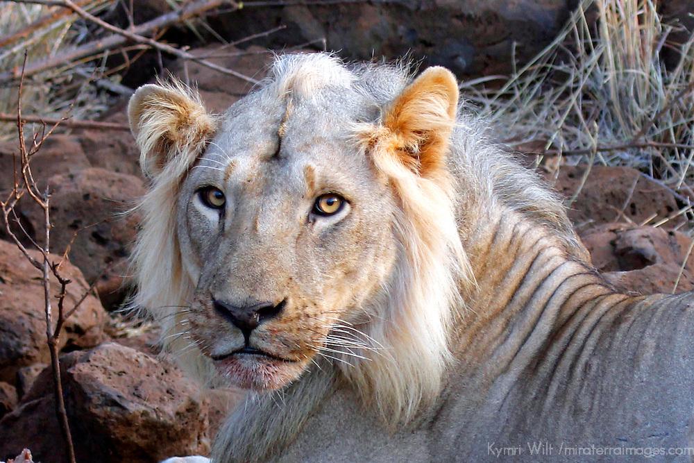 Africa, Kenya, Meru. Face of feeding lion..