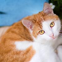 cat beautiful orange white single adult cat with golden eyes