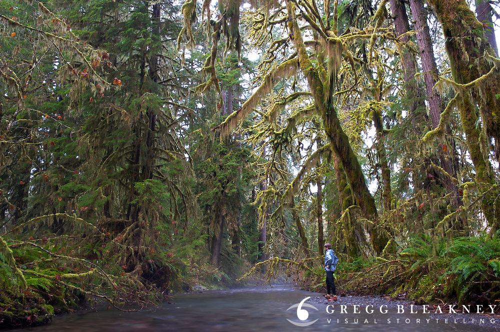 Gregg Bleakney scopes a small river tributary for breeding pairs of Salmon.  Olympic National Park's Salmon runs were decimated in 2007 after a class 5 hurricane struck the area. - Quinault Valley Temperate Rainforest - Olympic National Park - Washington State - USA