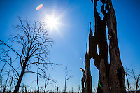 Looking up through the burnt trees on a sunny day in Mesa Verde National Park, Colorado, USA.