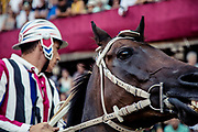 Italy, Siena, the Palio: Giovanni Atzeni, called Tittia from the Istrice contrada .  the horses enetered the square ready for the race. At the shot of the mortaretto, the horses come out of the Entrone and line up at the starting line, known as the mossa. As soon as the last horse reaches the starting line the race begins and lasts for three rounds of the square (about 1 kilometre in total). The first horse to cross the finishing line is the winner, regardless of whether it is still mounted.