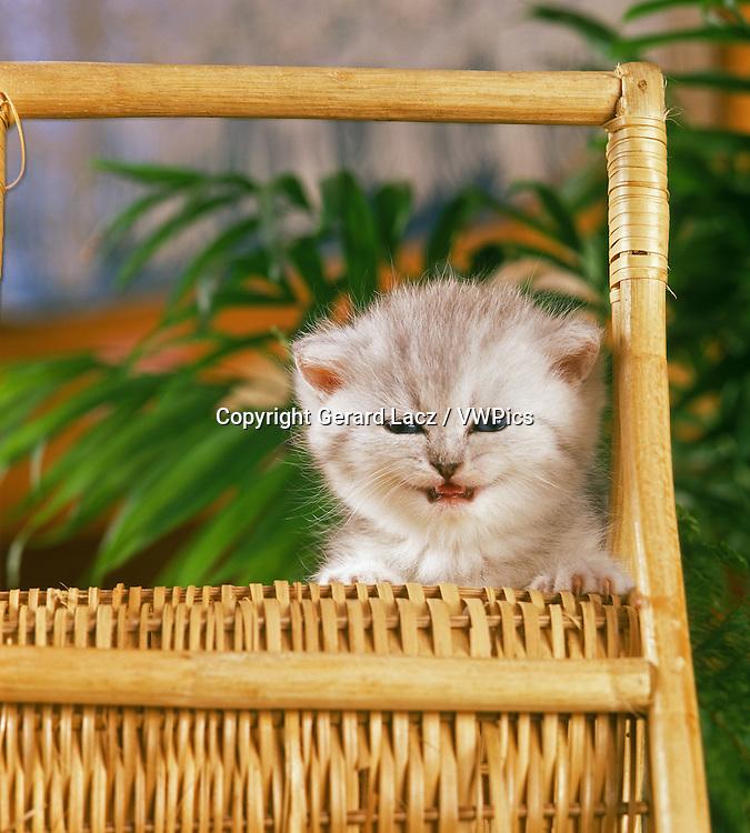White Exotic Shorthair Domestic Cat, Kitten standing in Basket