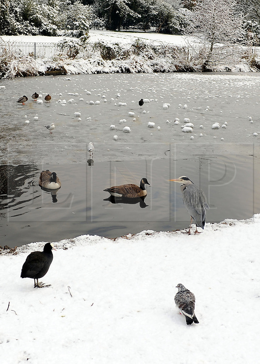 © Licensed to London News Pictures. 10/02/2012, London, UK. A heron waits in the snow. People enjoy the snow in the grounds of Chiswick House in West London today 10 February 2012. Chiswick House, undergoing restoration,  is the first and one of the finest examples of neo-Palladian design in England.  Inspired by the architecture of ancient Rome and 16th Century Italy, the third Earl of Burlington built the house as a homage to Renaissance architect Palladio.The cold weather across the UK is set to continue over the weekend.  Photo credit : Stephen Simpson/LNP