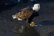 Wintering bald eagle on the Nooksack River, Deming, Washington