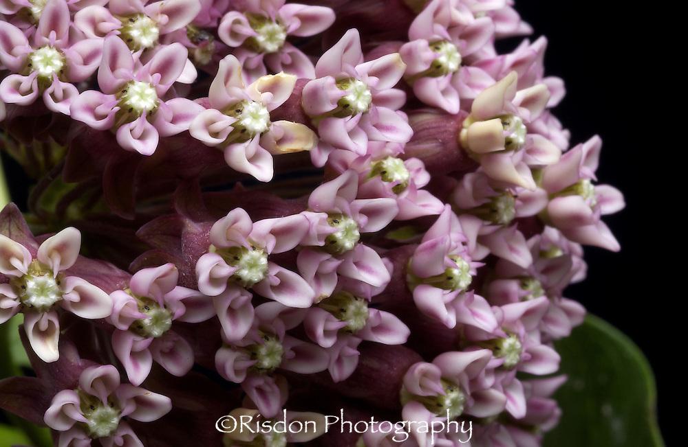 macro of milkweed bloom