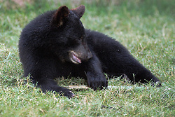 24 July 2005:   Black Bear Cub playing in grass. The American black bear (Ursus americanus) is a medium-sized bear native to North America. It is the continent's smallest and most widely distributed bear