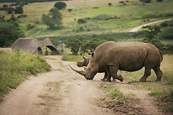 July 21, 2019 - Rhinoceros, South Africa (Credit Image: © Kristy-Anne Glubish/Design Pics via ZUMA Wire)