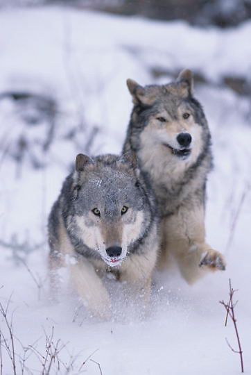 Gray Wolf, (Canis lupus) Pair running. Winter. Midwest. Captive Animal.