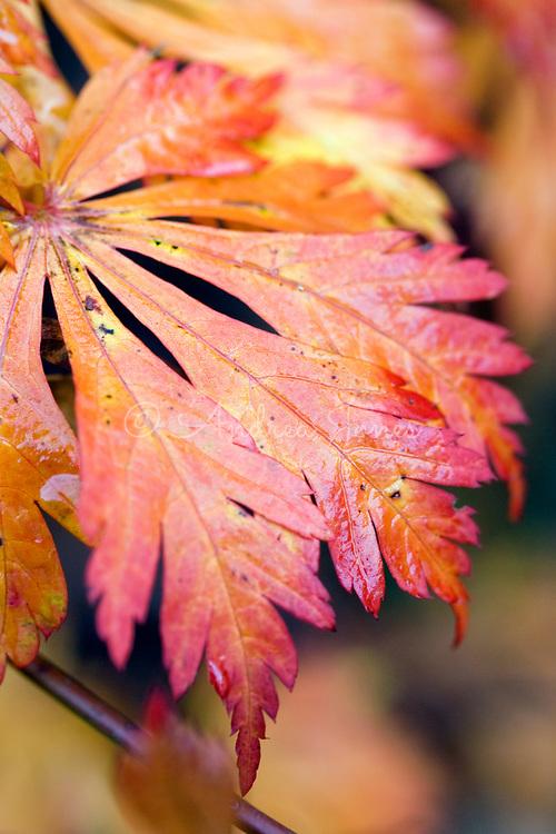 Acer japonicum 'Aconitifolium'<br /> Japanese Maple