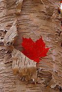 A maple leaf in fall color is lodged in the peeling bark of a white birch in the white birch forest of Pictured Rocks National Lakeshore near Grand Marais, Mich.