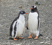 "Gentoo Penguins (Pygoscelis papua), chick and adult, Aicho Island, Antarctica. An adult Gentoo Penguin has a bright orange-red bill and a wide white stripe extending across the top of its head. Chicks have grey backs with white fronts. Of all penguins, Gentoos have the most prominent tail, which sweeps from side to side as they waddle on land, hence the scientific name Pygoscelis, ""rump-tailed."" As the the third largest species of penguin, adult Gentoos reach 51 to 90 cm (20-36 in) high. They are the fastest underwater swimming penguin, reaching speeds of 36 km per hour."
