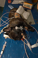 NLD, Niederlande: Verkabelter und an Infusionen angeschlossener anästhesierter Hund, Universitätsklinik für Gesellschaftstiere, Fakultät der Tierheilkunde, Utrecht | NLD, Netherlands: Wiring and at infusions attached anaesthetised dog, university clinic for companion animals, faculty of veterinary medicine, Utrecht |