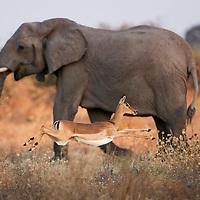 Africa, Botswana, Chobe National Park, Impala (Aepyceros melampus) leaping in tall grass past grazing Elephant (Loxodonta africana) in Savuti Marsh in Okavango Delta