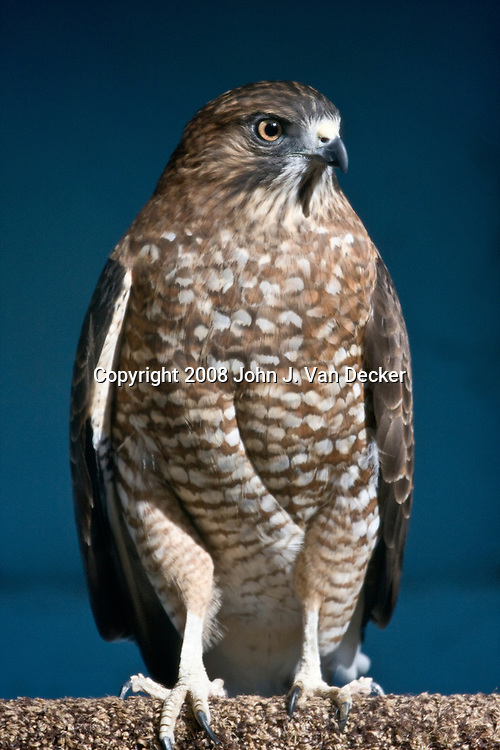 Broad-winged Hawk...Photo taken at The Raptor Trust, one of the premier, privately funded wild bird rehabilitation centers in the United States. The Raptor trust is recognized as a national leader in the fields of raptor conservation and avian rehabilitation.