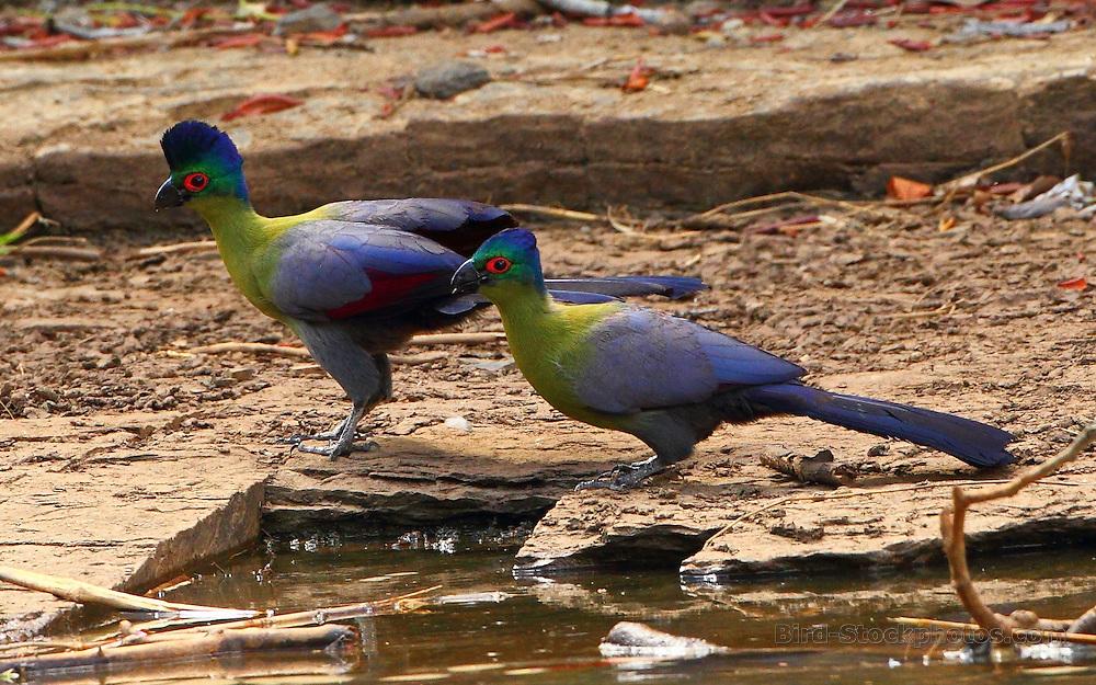 Purple-crested Turaco, Tauraco porphyreolophus, Kenya, by Markus Lilje