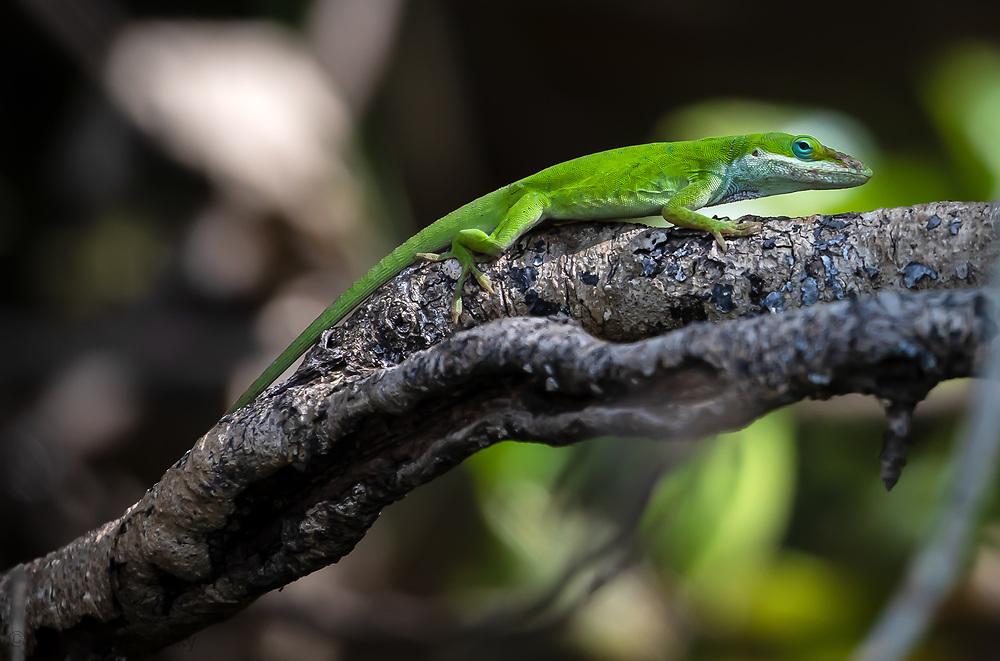 Anole Lizard in a Louisiana bayou off Lake Boeuf