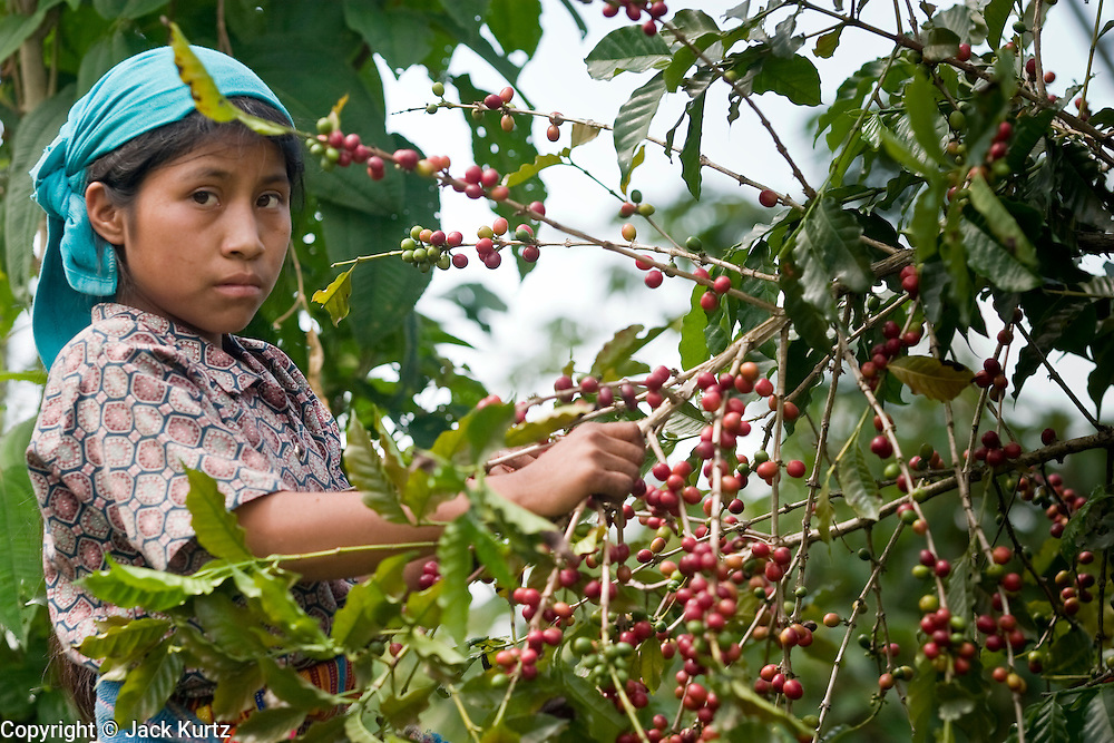 23 OCTOBER 2003 -- TAPACHULA, CHIAPAS, MEX: Teenage workers from Guatemala harvest coffee on a finca (plantation) near Tapachula, Mexico. World coffee prices have been depressed by over production in Brazil and Vietnam and thousands of coffee farmers in Mexico and Guatemala have been forced to emigrate to the US as undocumented workers because of the crisis in the coffee industry. PHOTO BY JACK KURTZ