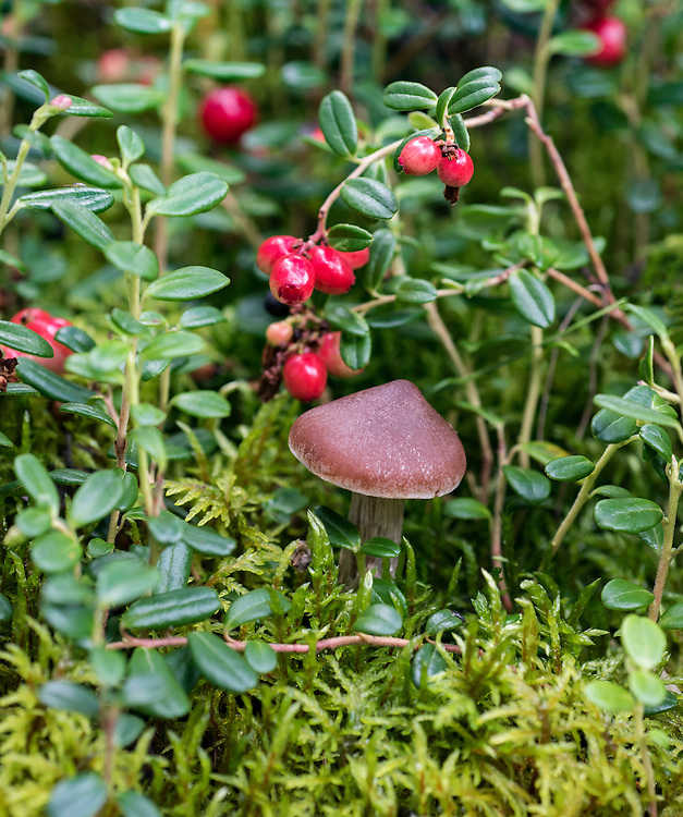 One very small brown mushroom (unknown species), and a low-bush cranberry (Vaccinium vitas-idaea)  bunch with red fruit (also called mountain cranberry and lingonberry), and moss background, summer, Denali National Park, Alaska, USA